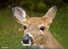 """<div class=""""jaDesc""""> <h4>Doe Visits My Truck Window - October 1, 2009 </h4> <p> I stopped on the shoulder of the road heading into Old Forge, NY in the Adirondaks to take some fall foliage photos.  I had both my truck windows down to get some fresh air.  This Doe came wandering out of the woods straight toward my truck.  Her chin was inside the door frame.  Her left ear was back so she could listen to a yearling that was in the woods edge.  I was so surprised that I almost missed this shot.</p> </div>"""