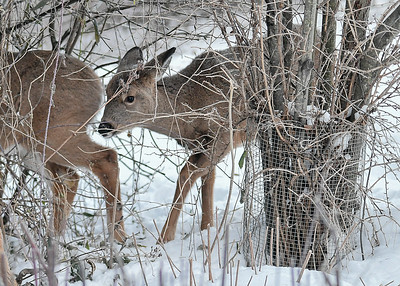 White-tailed Yearlings Looking for Something to Eat - November 23, 2018 The two Yearlings with their mom were inspecting under our viburnum bush for fallen leaves, having seen mom doing that.