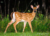 """<div class=""""jaDesc""""> <h4>Fawn at Dusk - August 12, 2007 </h4> <p>Two of this year's fawns were wandering through our front yard at dusk.  I was able to get this shot using a flash.</p> </div>"""