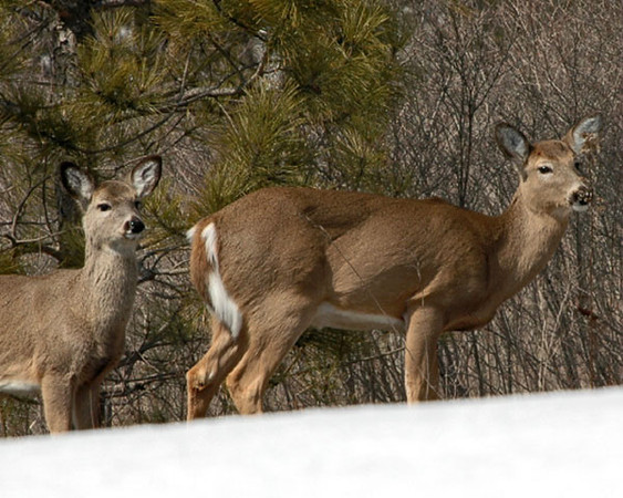 """<div class=""""jaDesc""""> <h4>Mom and Yearling White-tailed Deer - March, 2005 </h4> <p> The White-tailed Deer are struggling a bit to get food with the crusted snow on the ground. This doe and her yearling have a regular path they follow around our property every day.</p> </div>"""