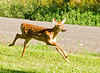 """<div class=""""jaDesc""""> <h4>Fawn Racing to Catch Up - July 29, 2008 </h4> <p>All of a sudden this little guy took off racing across our lawn to catch up to the other fawn across the road.</p> </div>"""