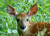 """<div class=""""jaDesc""""> <h4>Fawn Closeup - July 1, 2006 </h4> <p>This cute fawn came romping by the spot where I had set up my tripod and camera.  As it came even with my position, it stopped and stared directly at me.</p> </div>"""