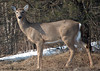 """<div class=""""jaDesc""""> <h4>Doe Grazing - June 7, 2006 </h4> <p>A large Doe and 2 yearlings were grazing along the road across from our house.  This gal looked up at me just as I took the shot.</p> </div>"""