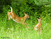 """<div class=""""jaDesc""""> <h4>Fawns Leaping for Cover - June 26, 2009 </h4> <p>Two White-tailed Fawns have their favorite grazing spot across the road from our house, but I never know when they will appear.  When a loud truck was approaching, they both leaped for cover after having been out of the woods for less than a minute.</p> </div>"""