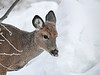 """<div class=""""jaDesc""""> <h4> White-tailed Yearling Tongue Out - November 23, 2018</h4> <p></p> </div>"""