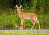 """<div class=""""jaDesc""""> <h4>Fawn Standing Tall - August 3, 2008 </h4> <p>The fawns are growing fast.  This one was standing nice and tall in the middle of the road, as if to say - see how beautiful I am.</p> </div>"""