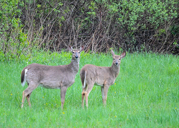 """<div class=""""jaDesc""""> <h4> White-tailed Does in Open Field - May 6, 2017</h4> <p> Notice how the Deer on the right has one ear pointed toward me and the other ear toward her companion. </p> </div>"""