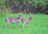 "<div class=""jaDesc""> <h4> White-tailed Does in Open Field - May 6, 2017</h4> <p> Notice how the Deer on the right has one ear pointed toward me and the other ear toward her companion. </p> </div>"