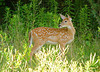 """<div class=""""jaDesc""""> <h4>Fawn Check on Sibling - July 29, 2008 </h4> <p>The fawn headed for the woods looked back to see what its sibling was up to.</p> </div>"""