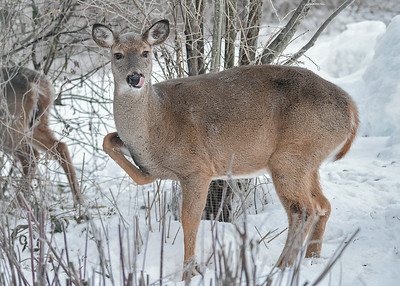 White-tailed Doe - Tongue Lick - November 23, 2018 A Doe and 2 Yearlings were hanging out in our yard to avoid the hunters.