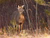 """<div class=""""jaDesc""""> <h4>White-tailed Doe at Woods Edge - May 5, 2012 </h4> <p> This Doe and her 2 yearlings came out of the woods across the road from our house this morning to inspect our 2 barn cats who were mousing in the roadside ditch. The Doe began snorting and stomping her feet to warn them off. The cats looked up at her and then continued their patient stalking.</p> </div>"""