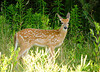 """<div class=""""jaDesc""""> <h4>Fawn Heads Back to Woods - July 29, 2008 </h4> <p>A pair of fawns visited our front lawn again.  They romped around playfully for a few minutes.  This one was the first to head back to the woods.</p> </div>"""