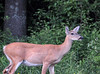 """<div class=""""jaDesc""""> <h4>Doe Grazing - June 17, 2014 - Video Attached </h4> <p> Our dog Coby spotted this Doe across the road from our front door.  I was able to go out to the garage and get some video of her.  I was far enough away that she did not spook.  I think she may have a fawn nearby, she is not where I normally see her. Our Red Squirrel visited yesterday when the sun was just right to really show off his reddish coloring.</p> </div> <center> <a href=""""http://www.youtube.com/watch?v=tL6LI8v50Fw"""" style=""""color: #0000FF"""" class=""""lightbox""""><strong> Play Video</strong></a> </center>"""