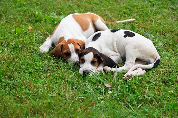 Beagle Hound Dog Puppies