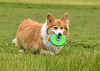 """<div class=""""jaDesc""""> <h4> Finn Retrieving Frisbee - June 22, 2018 </h4> <p>Finn is very proud of himself as he returns from retrieving the Frisbee.  The Frisbee is a nice soft one, just the right size for him.</p> </div>"""