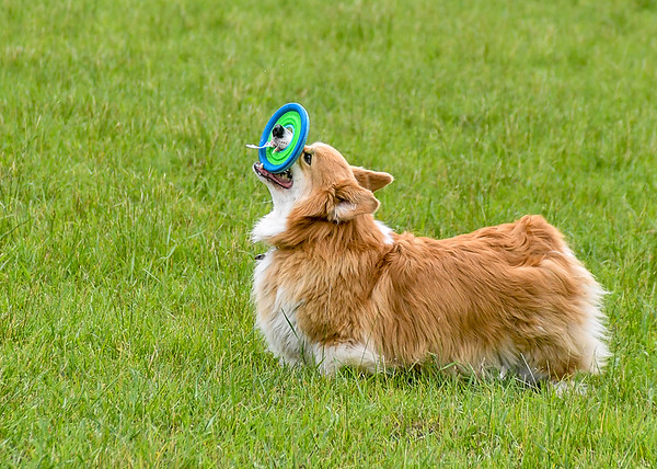 """<div class=""""jaDesc""""> <h4> Finn Playing with Frisbee - June 22, 2018 </h4> <p>After retrieving the Frisbee, Finn likes to toss it in the air.  I wasn't quick enough to get the release. </p> </div>"""