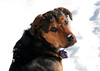 """<div class=""""jaDesc""""> <h4> Coby Loves Romping in the Snow </h4> <p> </p> </div>"""