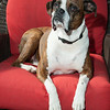 Rescued brown modeled boxer dog sitting indoors on a red chair looking at the camera.