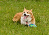 """<div class=""""jaDesc""""> <h4> Finn Catching His Breath - June 22, 2018 </h4> <p>Coby's Corgi cousin Finn came for a weekend visit.  He is taking a break after retrieving his Frisbee numerous times. </p> </div>"""
