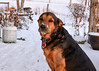 """<div class=""""jaDesc""""> <h4> Coby Feeling Cold - December 28, 2017</h4> <p>After lots of sniffing in the snow in our backyard, Coby was not very interested in having his picture taken.  He just wanted to go in and snuggle up near the wood stove. </p> </div>"""