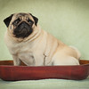 Pug in a Bowl