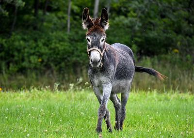 Curious Donkey Headed Toward Me - August 3, 2020
