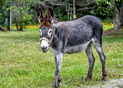 Second Donkey Grazing - August 3, 2020