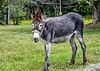 """<div class=""""jaDesc""""> <h4>Second Donkey Grazing - August 3, 2020 </h4> <p></p> </div>"""