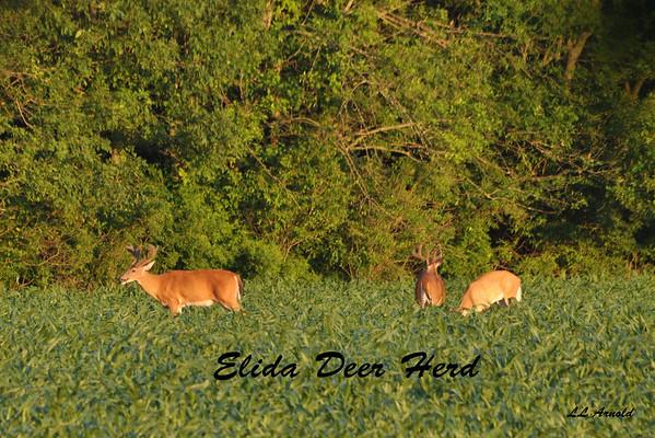Elida Deer Herd