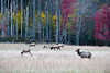 Herd of Elk