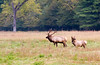 Male and Female Elks