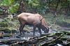 Elk Drinking from Stream