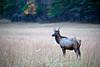 Bull Elk Standing in a Grassy Field