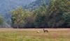 Elk in the Field