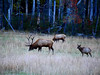 Video of the Elk