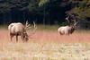 Two Bull Elks in field eating grass