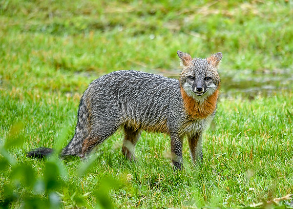 """<div class=""""jaDesc""""> <h4>Female Gray Fox Notices Me - June 16, 2019</h4> <p>I stayed as still as possible so I did not spook her.</p> </div>"""