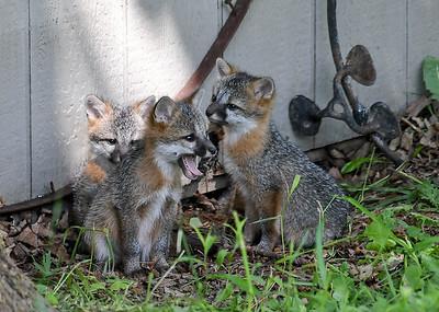 Gray Fox Kit Yawning - June 7, 2018  Nice big yawn by one of the Gray Fox kits.
