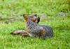 "<div class=""jaDesc""> <h4>Female Gray Fox Scratching Face - June 16, 2019</h4> <p></p> </div>"