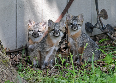 Gray Fox Kits Posing - June 7, 2018  Three of four Gray Fox kits came out from under the storage shed and were very curious about the presence of my blind. I had to move my lens very slowly so I didn't spook them.  Cuteness factor = 10.
