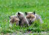 """<div class=""""jaDesc""""> <h4>Red Fox Kit Trio - April 26, 2014</h4> <p> I was able to get a shot of three kits at once as they played in the grass.</p> </div>"""