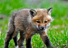 """<div class=""""jaDesc""""> <h4>Red Fox Kit Close-up - April 26, 2014</h4> <p> One of the seven Red Fox Kits strolling by right in front of me.  He really did not seem to mind my presence at all.  I'm sure his parents would not have approved, but they were off hunting.</p> </div>"""