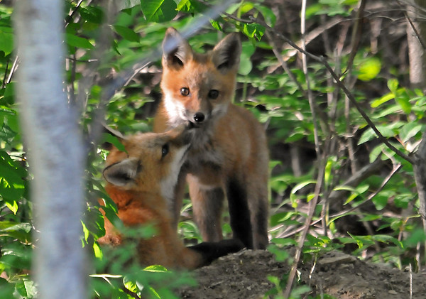 """<div class=""""jaDesc""""> <h4>Red Fox Kits - Affection - May 26 2014</h4> <p>In between bouts of play fighting, there were tender moments as well.</p> </div>"""