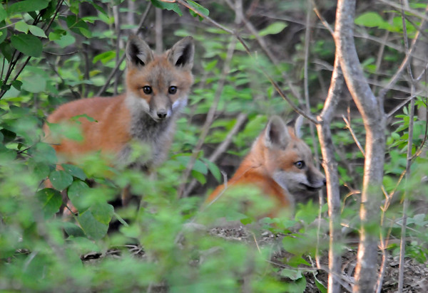 """<div class=""""jaDesc""""> <h4> Red Fox Kits Wrestling - May 22, 2014 - Video Attached</h4> <p> At first I only saw two Red Fox Kits, but as you will see in the video there are four. They were having a grand time playing next to their den.  There was no sign of the parents; probably out hunting to feed these four growing kits. </p>  </div> <center> <a href=""""http://www.youtube.com/watch?v=s6XFC7XY3wI""""  style=""""color: #0AC216"""" class=""""lightbox""""><strong> Play Video</strong></a>"""