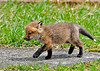 """<div class=""""jaDesc""""> <h4>Red Fox Kit Prancing - April 26, 2014</h4> <p> I got a call from a friend this morning to tell me that there were fox kits playing in the grass in her neighbors back yard.  When I got there, I was amazed to see 7 Red Fox kits playing and napping in the grass.  That must be a record!  </p> </div>"""