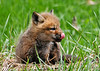 """<div class=""""jaDesc""""> <h4>Red Fox Kit with Tongue Curled - April 26, 2014</h4> <p> This kit was taking turns napping in the grass and grooming himself with his tongue.</p> </div>"""