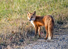 "<div class=""jaDesc""> <h4>Red Fox Hunting - November 8, 2016</h4> <p>This Red Fox was hunting in late afternoon along the roadside at Bombay National Wildlife Reserve in Delaware.  He appeared to be catching bugs in the grass.</p> </div>"