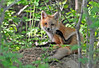 """<div class=""""jaDesc""""> <h4>Red Fox Kit Pawing at Ear - May 26 2014</h4> <p>When the kits are not playing or napping, they are grooming.</p> </div>"""