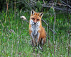 """<div class=""""jaDesc""""> <h4>Male Red Fox Looking Right at Me - May 11, 2010</h4> <p> He was very composed as he shifted his position to face me and look straight at me.  What an exhilarating experience!</p> </div>"""