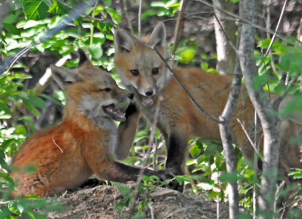 """<div class=""""jaDesc""""> <h4>Red Fox Kits - Teeth Bared - May 26 2014</h4> <p>These two kits were into biting each other.</p> </div>"""